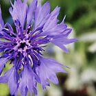 Purple Flower by Kyle LeBlanc