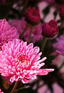 Vibrant Pink Mum - Greeting Card by Marcia Rubin