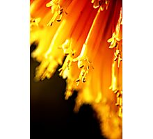 Red Hot Tips.  (red hot pokers, macro) Photographic Print
