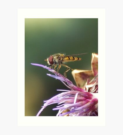 HOVERFLY AND THISTLE Art Print