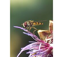 HOVERFLY AND THISTLE Photographic Print