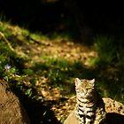 African Black Footed Cat by Kate Krutzner