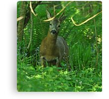 Roe Buck Canvas Print