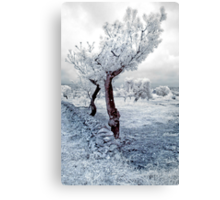 Olive Tree in Puglia Canvas Print