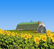 Sunflower A Barn by Gary Smith