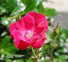 Church Rose by Trish Nicholas