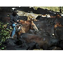 Sortin' Calves Photographic Print