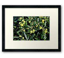 Lush and shiny foliage with many little green balls... Framed Print
