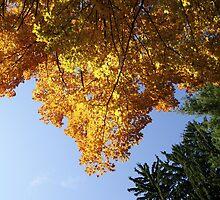 Orange Maple Tree by Sharon-Leigh Ricker