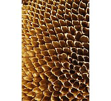 Spent - Sunflower Seed Head Photographic Print