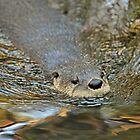 River Otter by ewersphoto