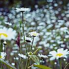 Dreaming Daisies by Doug Keech