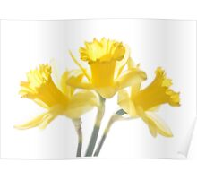 Sunny Daffodils on White Poster