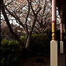 Cherry Blossums in front of the Awning  by Ian Moses