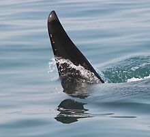 Killer whale dorsal fin up close! by jozi1