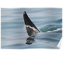 Killer whale dorsal fin up close! Poster