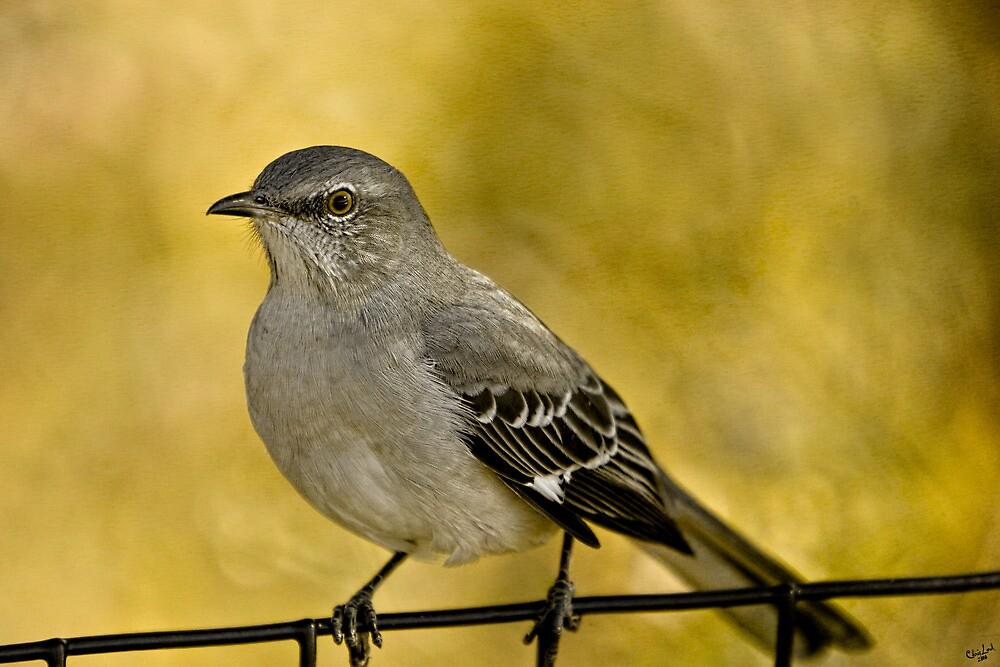 Northern Mockingbird by Chris Lord