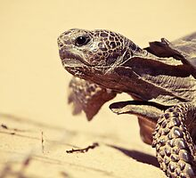 Gopher Tortoise by Phillip  Simmons