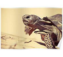 Gopher Tortoise Poster