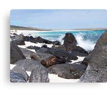 Baby Seal - Galapagos, Equador Canvas Print