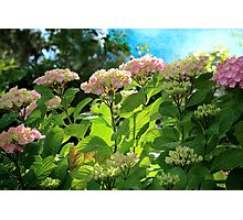 Hydrangea Morning Photographic Print