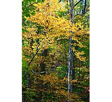 FALL COLOR AND SYCAMORE Photographic Print