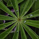 Wet lupin leaf by Avril Harris