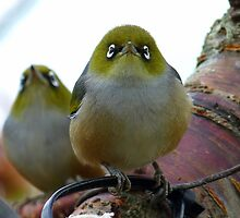Look to the heavens my friend! - Silvereye - NZ - Southland by AndreaEL