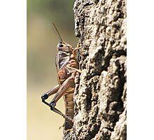 Plains Lubber Grasshopper ~ Female Photographic Print
