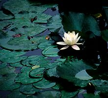 Water Lily - Asticou Azalea Garden by David Clayton