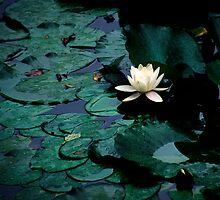 Water Lily - Asticou Azalea Garden by David Clayton
