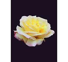 Tea Rose Sticker Photographic Print