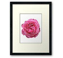 Leonardo da Vinci Rosa  Framed Print