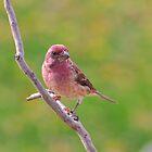 Purple Finch - Male by Lynda   McDonald