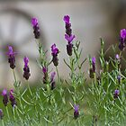 Lavender by Chrissie Taylor