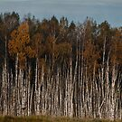 Birches (Autumn 2010) by Antanas