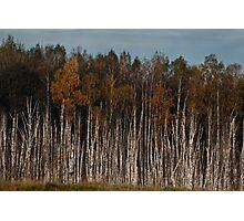 Birches (Autumn 2010) Photographic Print