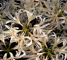 white autumn lilies by Skye Hohmann