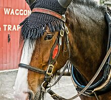 The Shire Horse by Tarrby