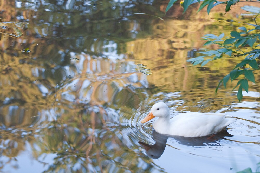 Beautiful Reflections: White Duck on Canal by Ann Miller