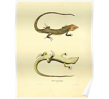 North American Herpetology A Desciption of the Reptiles Inhabiting the United States Chichowski John Edwards Holbrook 1838  0198 Snake Poster
