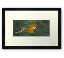 Flying Macaw Framed Print