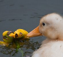 Stop and Smell the Flowers: Yellow Mallard Duckling by Ann Miller