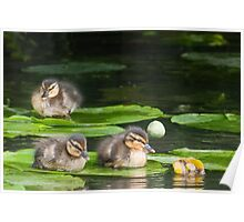 Baby Mallards on Lily Pad Poster