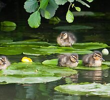Resting Mallard Ducklings  by Ann Miller