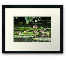 Resting Mallard Ducklings  Framed Print