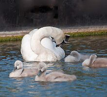 Mute Swan Family by Ann Miller