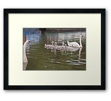 Papa Looks on: Mute Swan Family on Canal Framed Print