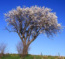 Spring time almond blossom near Capestang southern France by Paul Pasco