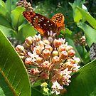 Meadow Fritillary Butterfly by Molly  Kinsey